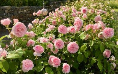 Was hat Rosenpflege mit Neustart zu tun?